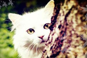>我是一只布偶猫
